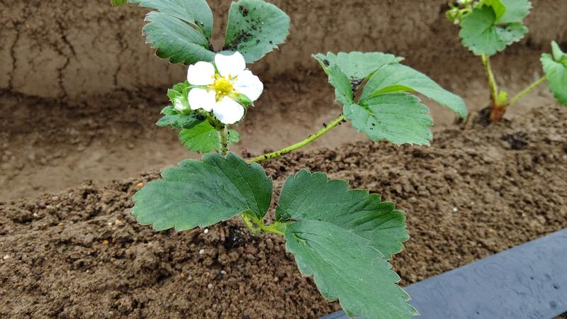 定植後の苗